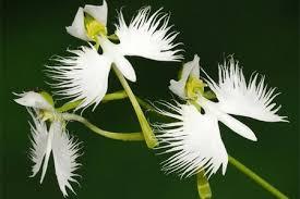 Naturaleza On Twitter Flordelespíritusanto Se Llama Peristeria Alada Es Una Orquídea Del Brasil Y Florece Justamente En Epoca De Pascua Es Conocida Tambien Como La Flor Del Espíritu Santo Es Una