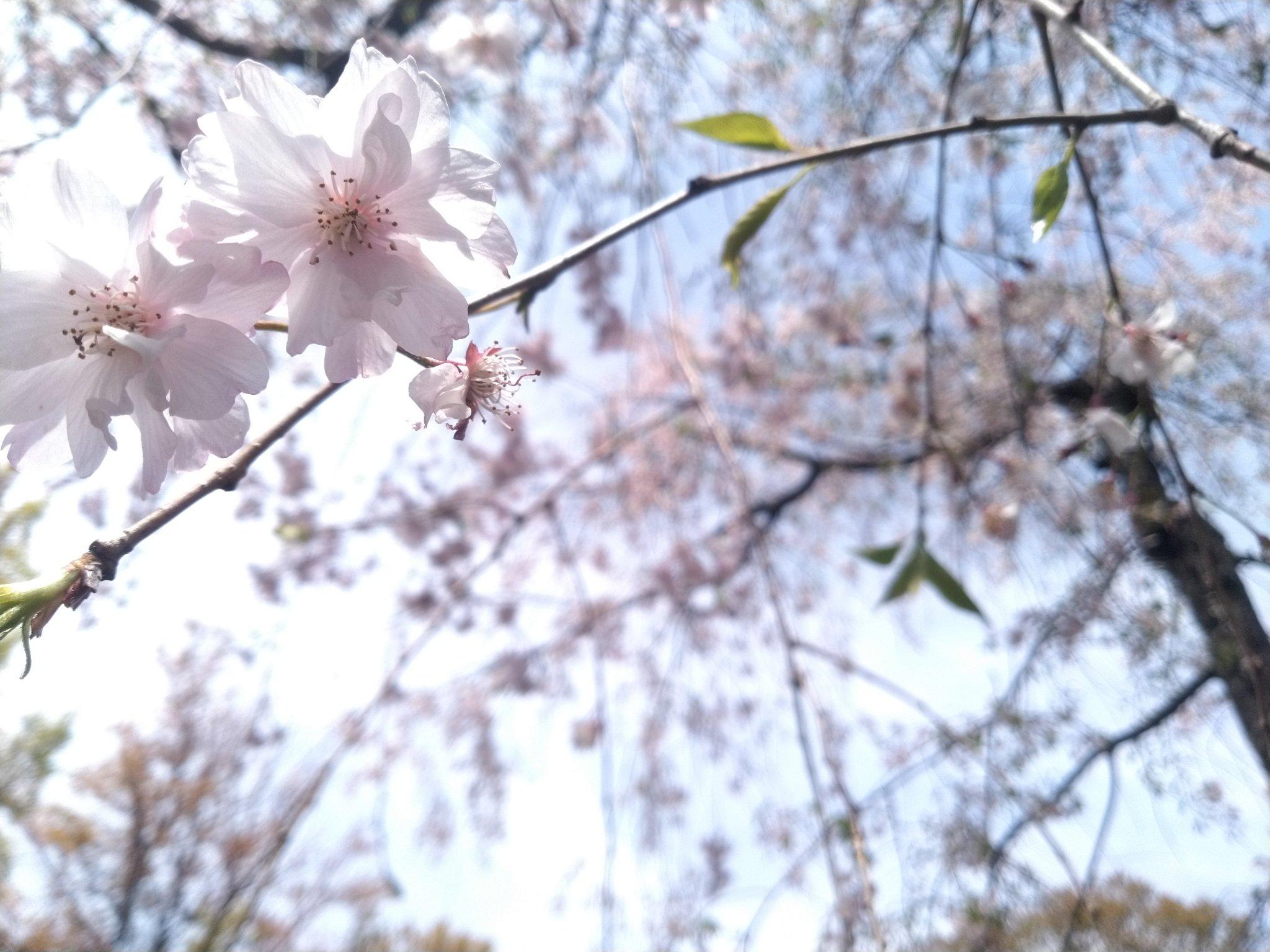 画像,ミツバチ分蜂の話を聞いてちょうど今日、枝垂れさん撮ってるときに3匹ほど蜜を一生懸命集めてました。大人しい子たちで、ゆっくり動くようにしてたら、傍でカシャカシャし…