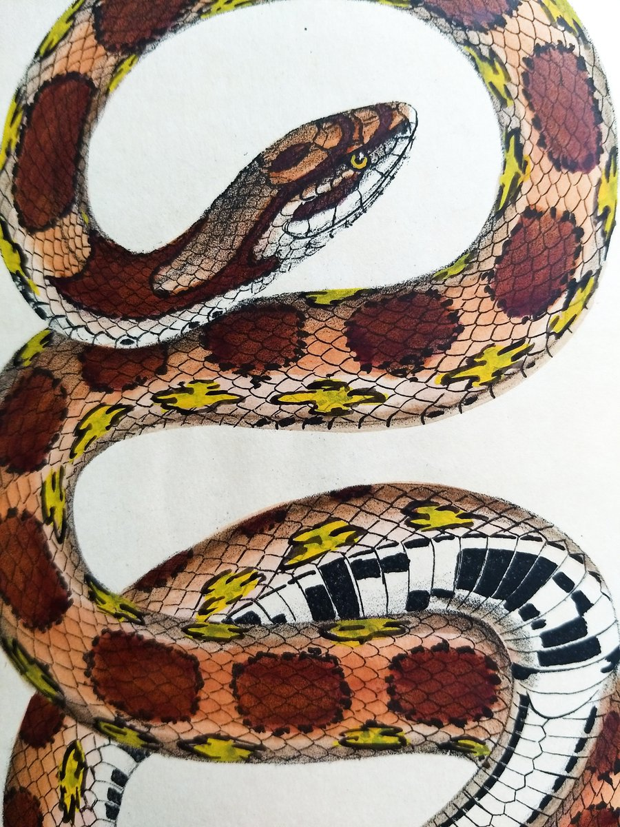 This image depicts a scientific illustration of a corn snake from 1842. The snake is twisted around itself, forming an S-shape and tying off at the end of its tail like a pretzel. There are circular spots all over its body in a row from it's head down to its tail. The scales of the snake are large and well defined, giving it a leather-like texture.