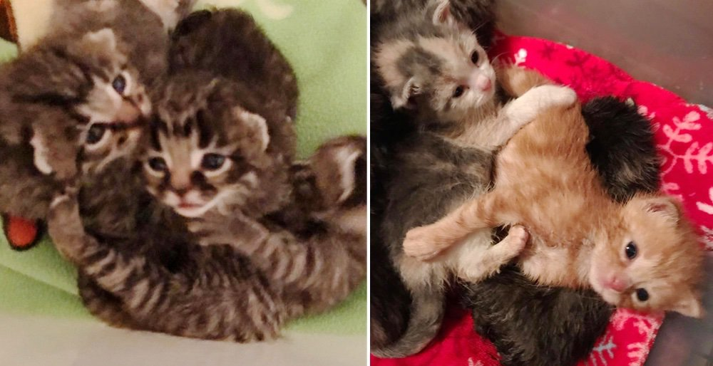 Kittens found in a chicken coop adopt 3 other orphaned kitties into their family. See full story and updates: lovemeow.com/kittens-adopt-…