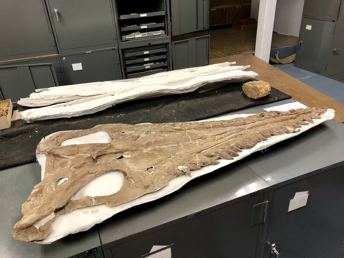 Holotypes abounded on the tour of the @SternbergMuseum paleontology collection! Megacephalosaurus eulerti and Pteranodon walkeri (Miller, 1972) were front and center, plus tons of specimens prepared by George F. Sternberg himself #AMMP2019<br>http://pic.twitter.com/tefD1n0IRs