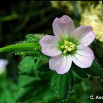 Ecuador 1802: Humboldt & Bonpland were hosted by the Marquis of Selva Alegre and stayed at his 'beautiful Chillo home'. From this valley is Geranium chilloense. This we collected at Machachi (Pugyopamba). [📷C.Aedo] #Humboldt250