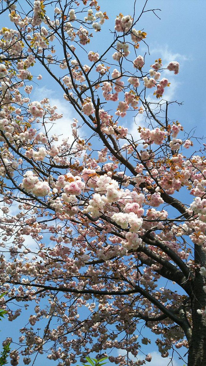 転職先に見学してきました〜代表と社長にもご挨拶。笑顔が素敵なので、大丈夫。と太鼓判いただきました〜頑張り過ぎないように、頑張ります。自宅前の八重桜、満開〜?