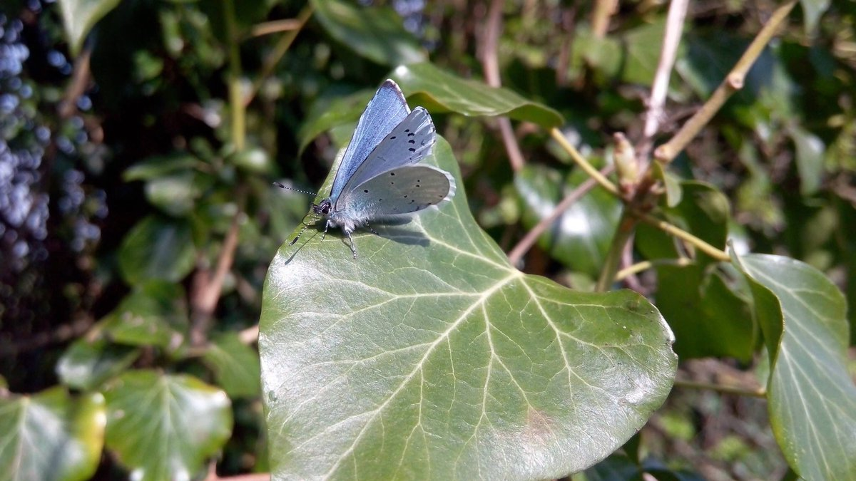 Out and about in the neighbourhood in South Oxfordshire today+this beauty came my way. And when I thought I'd captured a mere Common Blue, it seems that this is actually a Holly Blue. @savebutterflies, could you confirm, please? #butterflies #wildlifeuk #insects