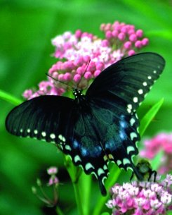 Love to plant a #ButterflyGarden but not sure where to start?  Though fall is a better time to plant seeds for #nativeplants there are many shrubs, trees, plants you can plant in spring to attract & support #butterflies. …https://haltonmastergardeners.files.wordpress.com/2017/04/planning-your-butterfly-garden.pdf…