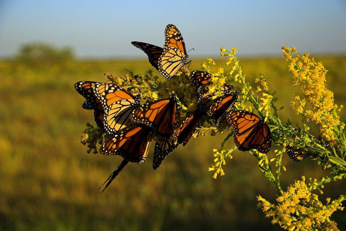 An Arkansas couple is using their ranch to help #pollinators like monarch #butterflies and many other species. https://www.fws.gov/southeast/articles/monarchs-on-the-ranch/…   Photo by Woody Woodrow, USFWS.