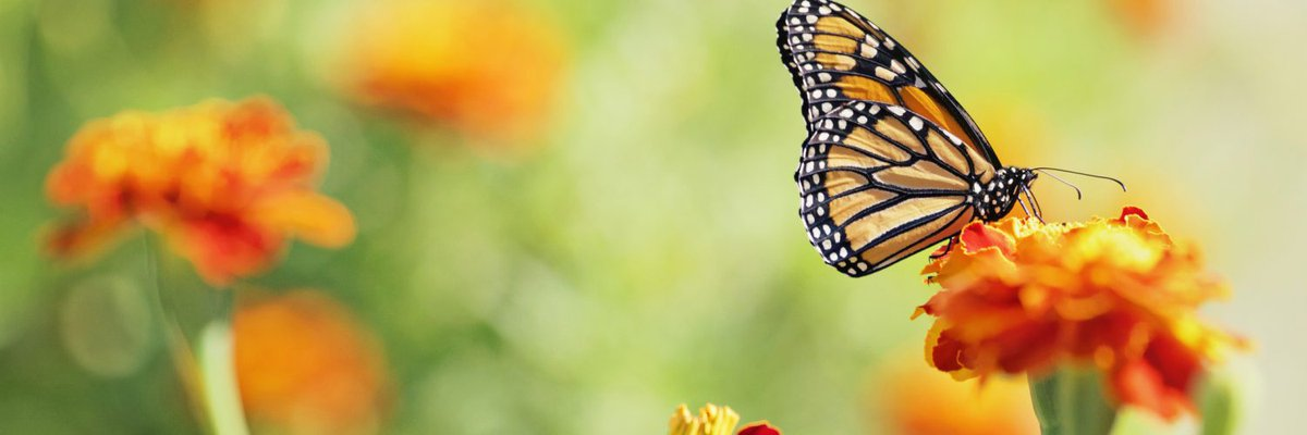 Pollinators and herbivores have very different effects on flower traits https://www.earth.com/news/pollinators-herbivores-flower-traits/#.XLQI-5OsJAs.twitter… #pollinators #bees #butterflies