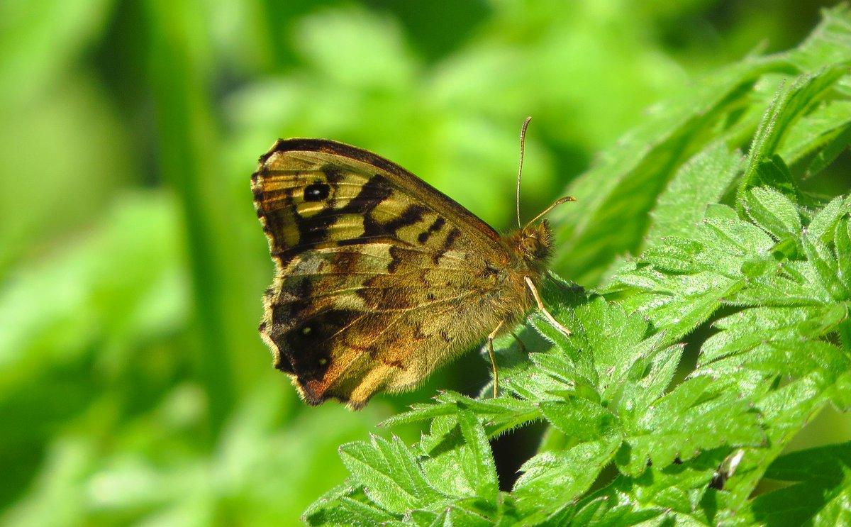 Speckled Wood #leps #butterflies #springwatch