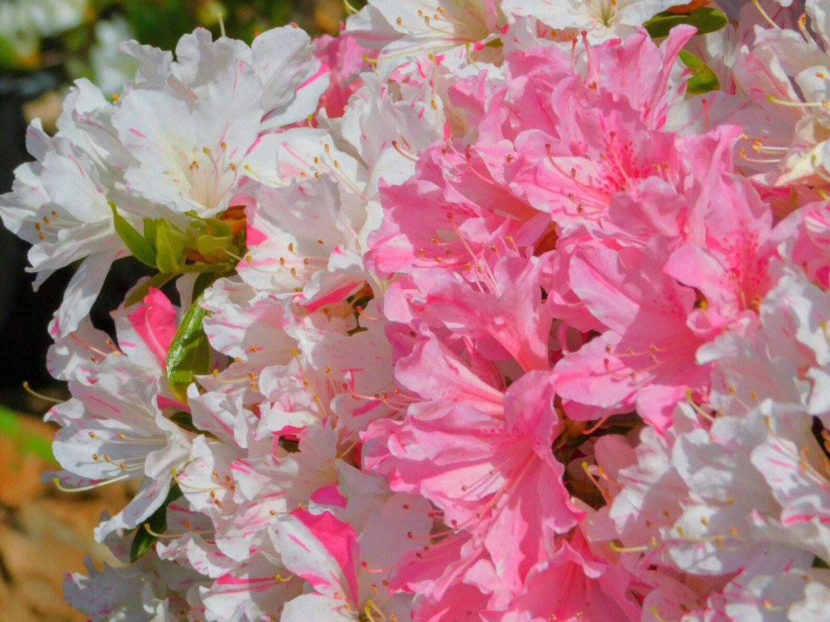 #つつじ #azalea #文京つつじ祭り #つつじまつり #根津神社 #文京区 #花 #flower #はなまっぷ #風景写真 #you39RT