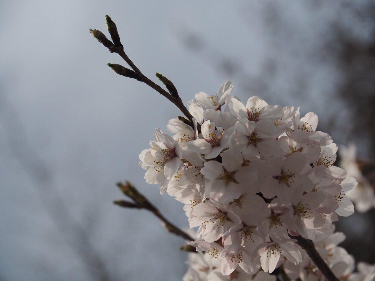 今年もお花見できなかったので、高野山の残り桜を見に。やはり花といえば桜ですねえ。 #しかし公共交通機関では高野山遠かった #高野山 #桜 #花見 #春 #山 #寺 #和 #日本 #金剛峰寺 #花 #cherryblossom #flower #spring #japan #koyasan #temple #nofilter