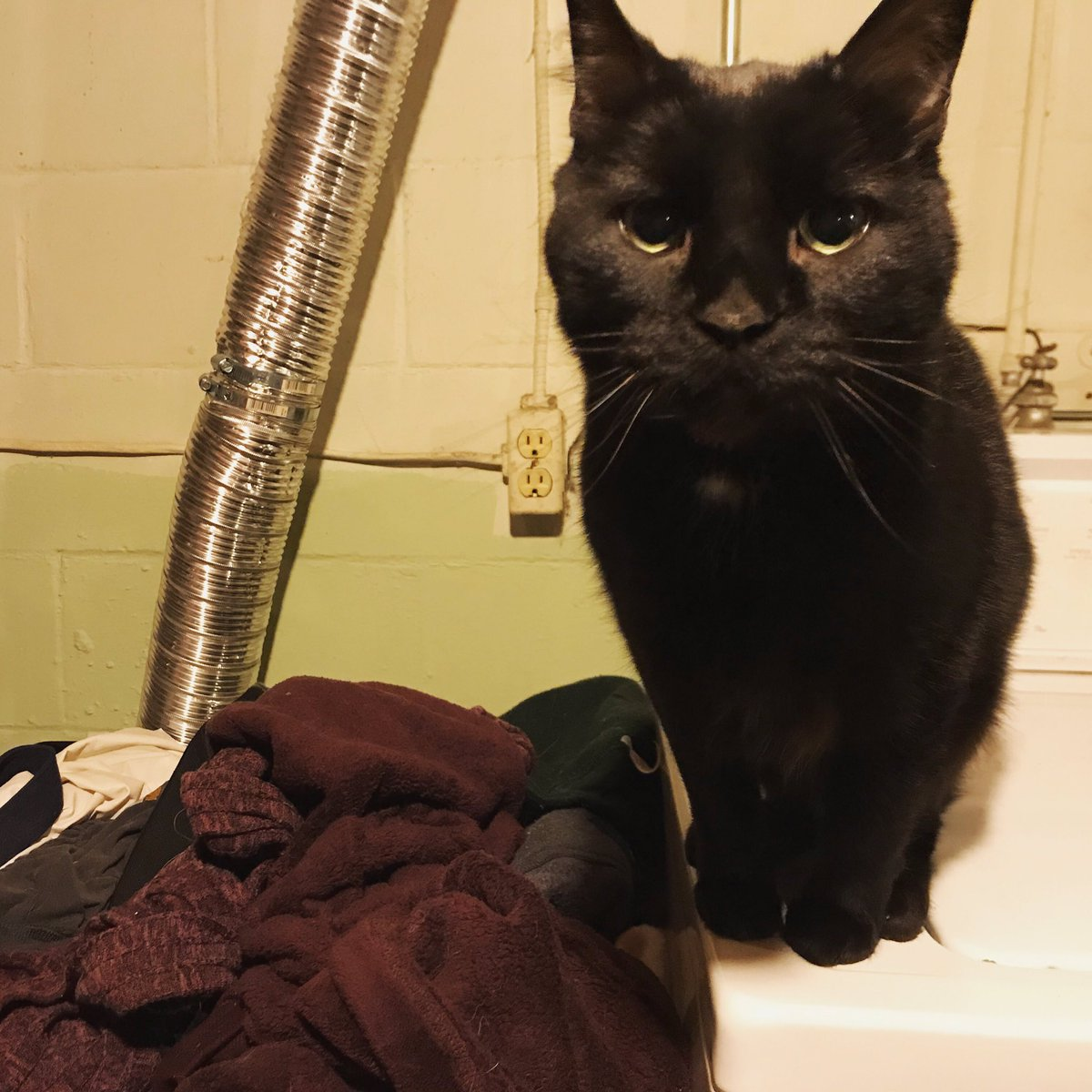 It's Missouri Furry Friday!  This is Shibby. She's from St. Louis and was adopted from the APA.   She enjoys folding laundry so she can sleep in it. She believes actions are louder than meows. Her favorite Italian dish is spaghetti and meatballs with extra sauce.