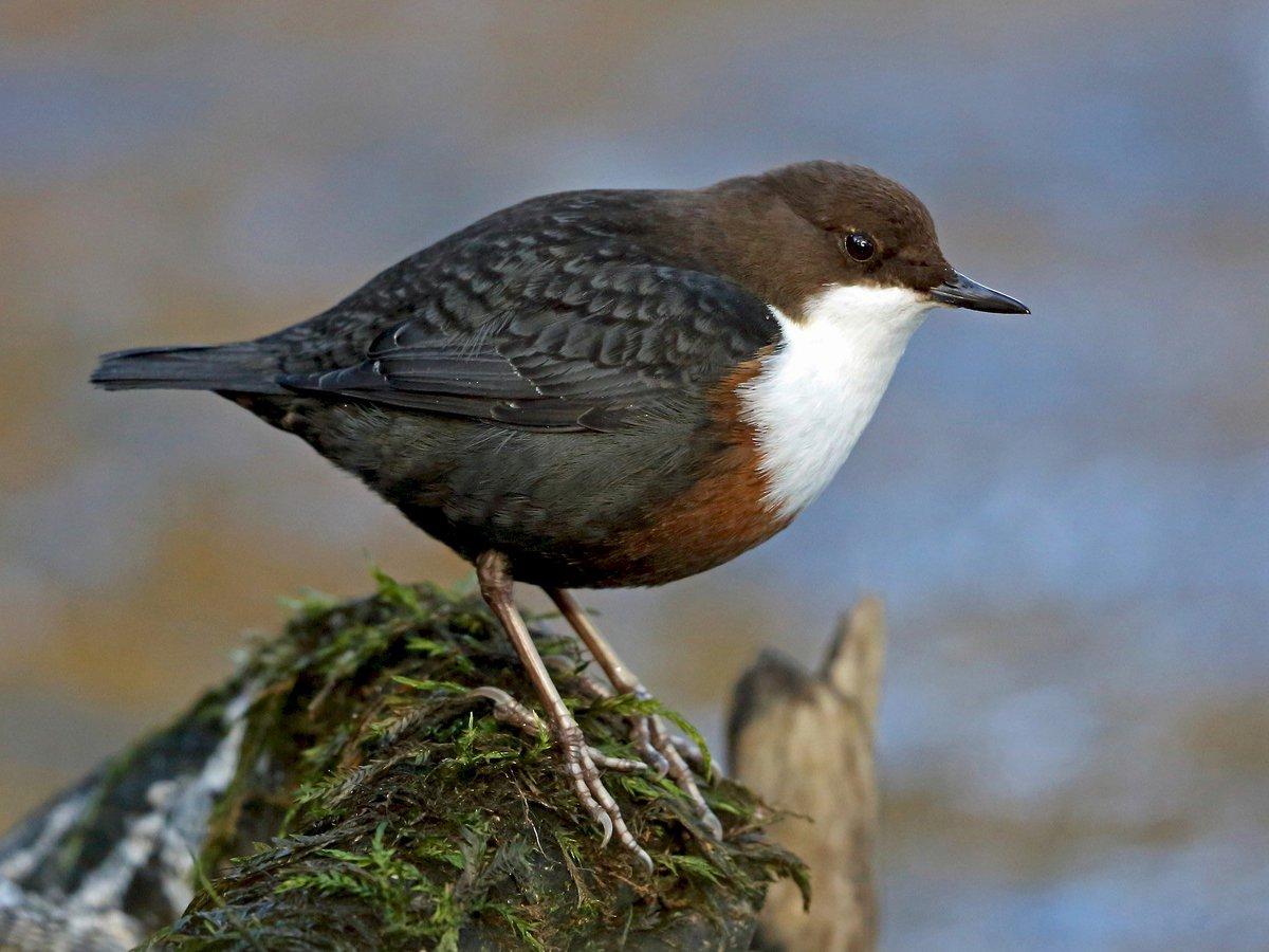 глаз длинными оляпка фото птицы среди прочих услуг