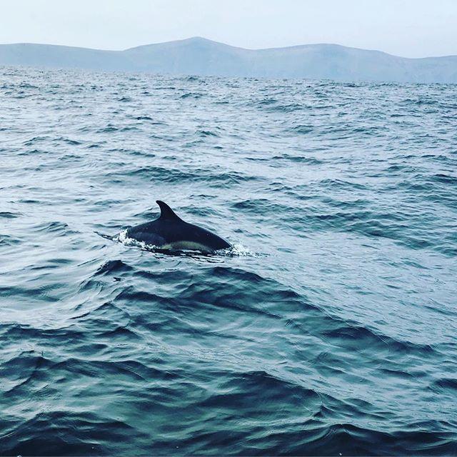 Common dolphin off the starboard side on our return from Blasket Island. #dinglestyle #irishstyle #sq1eurotour #wildwildlife @dingle_sea_safari__ http://bit.ly/2Xy4kc9