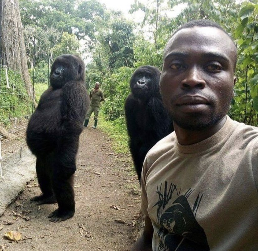 Two Gorillas pose with the anti-poaching rangers who guard them