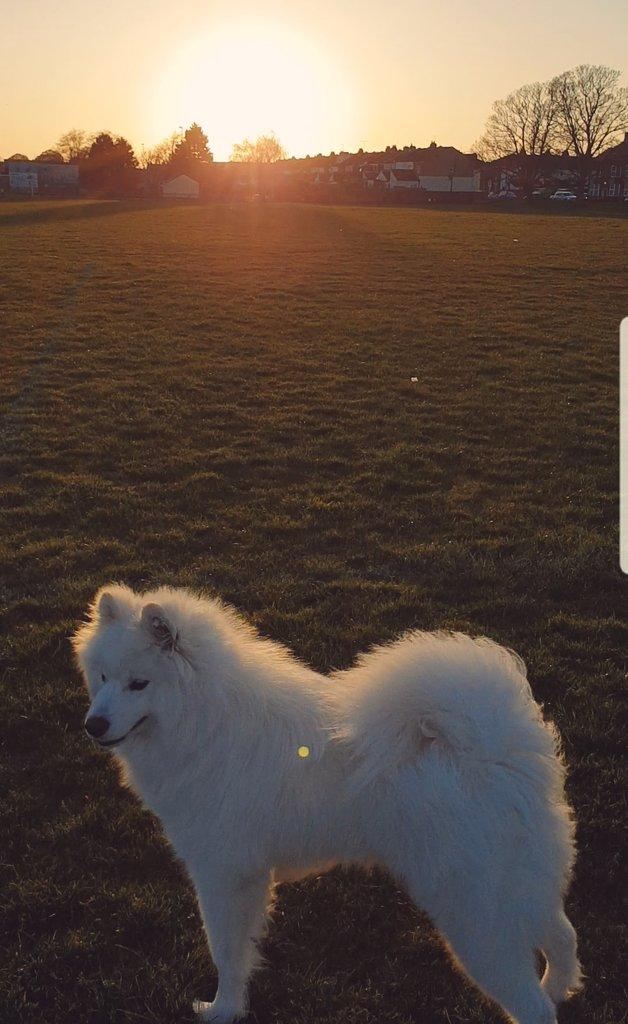 This is Beautiful Raja Evening walks with my sunshine #samoyed <br>http://pic.twitter.com/bJ4nZYUREA