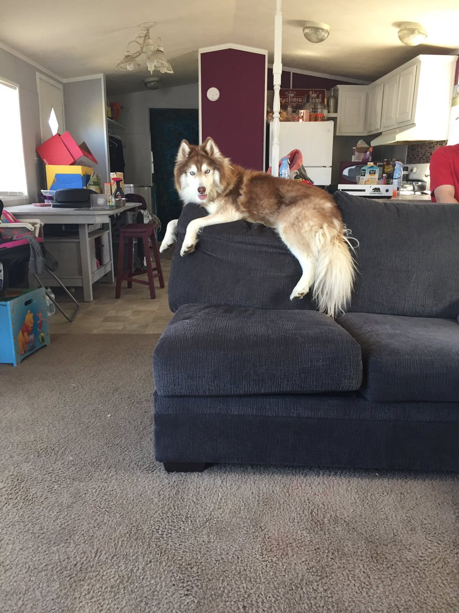 LOST DOG IN CENTER GROVE/GREENWOOD AREA  Everyone please keep a look out for my dog, he has white and red fur, he is a Pomsky, has a black collar, and his name is Voxen! He does not bite at all and is very friendly. If found my # is 3176986377 plz rt... <br>http://pic.twitter.com/529I0Kucuh