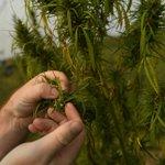 Image for the Tweet beginning: Legal hemp, pot's look-alike, creates
