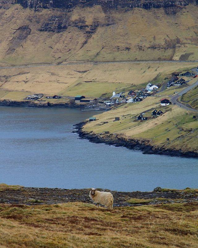 """""""Contare le pecore per addormentarsi Sarebbe bello avere un gregge tutto per me Di modo che non sia necessario farsi di cocktail approssimativi fatti da te"""" 🐏🐑 #FaroeIslands 🇫🇴 🇫🇴 🇫🇴 . . . . . . . . .  #nordicscollective #thenordicscollective #faroei… http://bit.ly/2IwZGHE"""