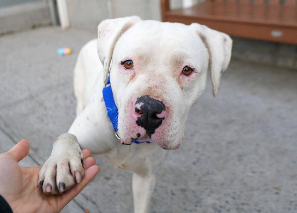 """FANCY REACHES OUT TO YOU TO HELP GET HER OFF """"THE LIST.""""A loving family dog dumped because 'the landlord said so.' Our pledges to attract a Rescue via @chortletown or a Foster/Adopter are her only hopes. But sharing Fancy can save her! So PLEASE RT https://www.facebook.com/mldsavingnycdogs/photos/to-be-killed-4202019fancys-parent-was-obviously-a-man-of-few-words-or-a-woman-of/964693867050217/…"""