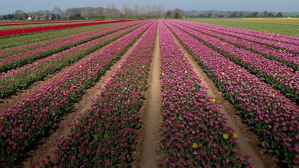 """Just Read """"Tulips from the air: Artist drawn to beauty of Norfolk flowers"""" from BBC News - Science & Environment #science #math #amreading https://www.bbc.co.uk/news/uk-england-norfolk-47949747…"""