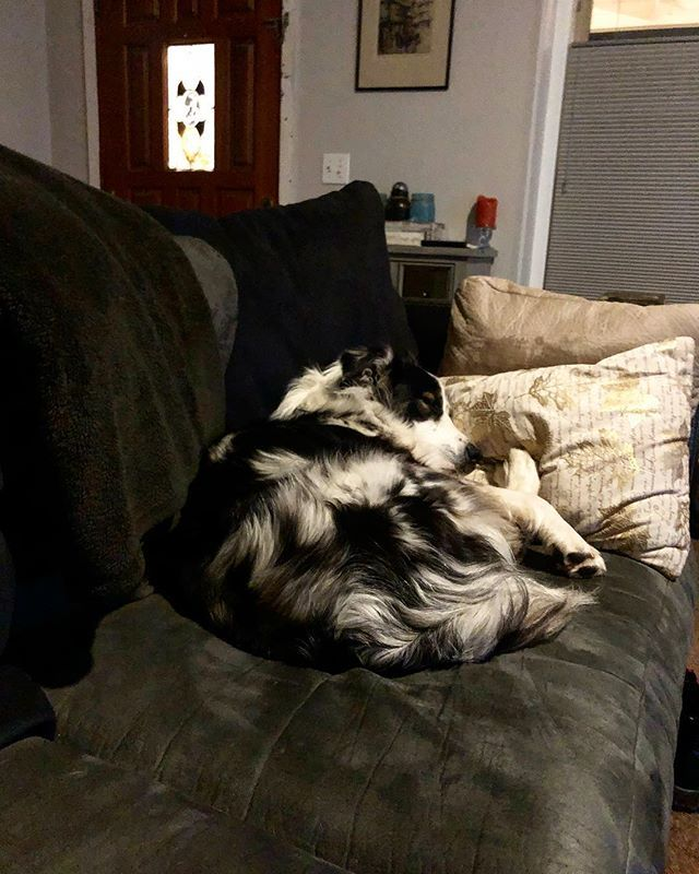 When your so tired you have to cuddle your back paws. #toocute #sleepypuppy #australianshepherd #captain #goodnight http://bit.ly/2VljkwB