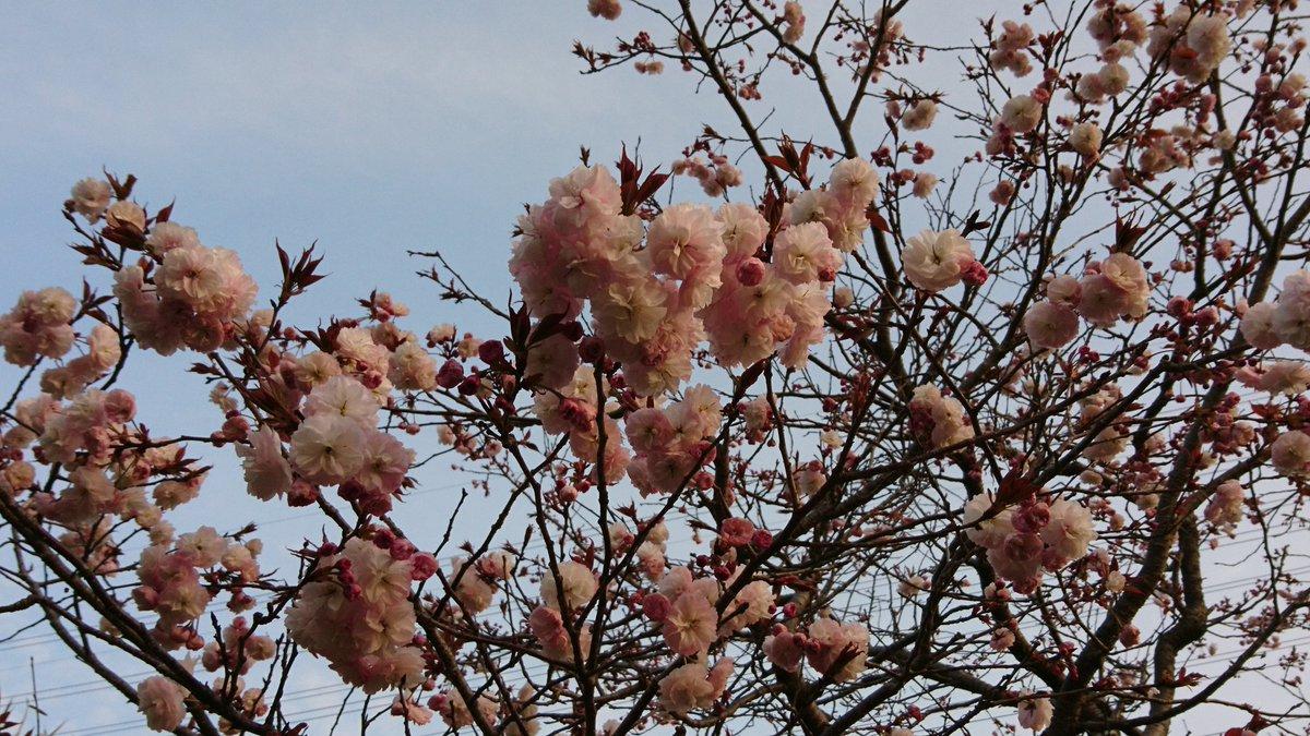 お早うございまーす☀️。 本日は、いざ池袋ー。相変わらずの始発バスです。 バス停近くに八重桜🌸。キレイだね♪