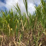 How sweet it is! This grass grows to a height of 10-13 ft high & supplies most of the world's #sugar market. It's also the source of #rum #molasses! Tune in to Ep. 9 of #FoodiePharmacology to learn more: https://t.co/2aJ4J4I61E  #sugarcane #foodie #Barbados #Caribbean #sweetener