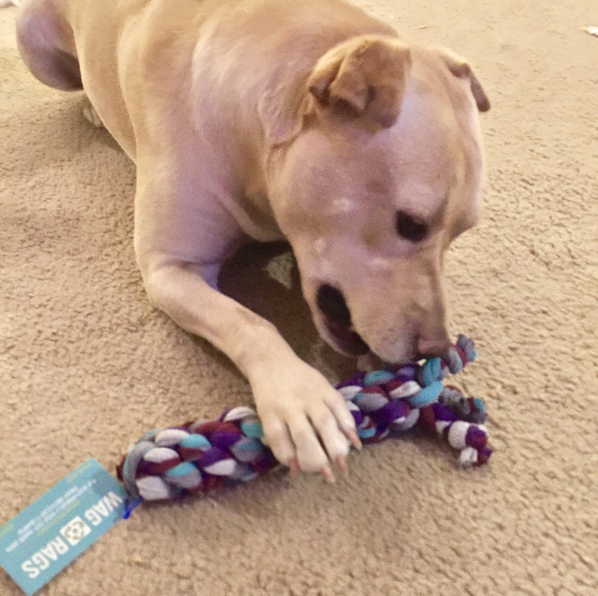 She loves it!   Thanks @TiffanyBond for inspiring me to find this awesome dog toy - made out of old T shirts!     #MaineRaising   Eco-Friendly dog toys from https://www.wag-rags.com/  in Maine  #MaineRaising     #dogsoftwitter #GoGreen