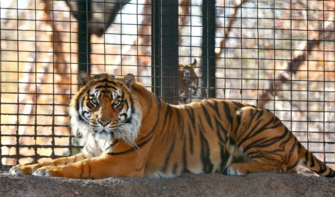 Zookeeper hospitalized after tiger attack at Topeka Zoo https://bit.ly/2KRJCT1  #10TV