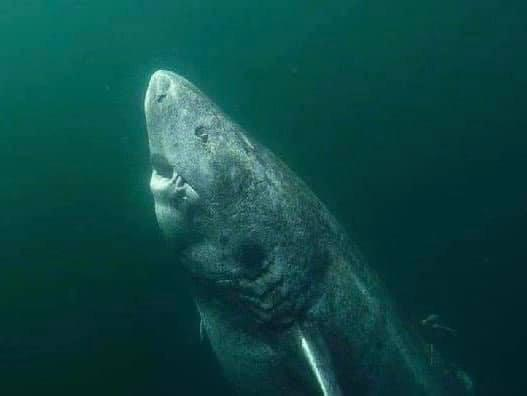 This is a 392 year old shark that was recently discovered in the Arctic Ocean. This guy was wandering the oceans back in 1627