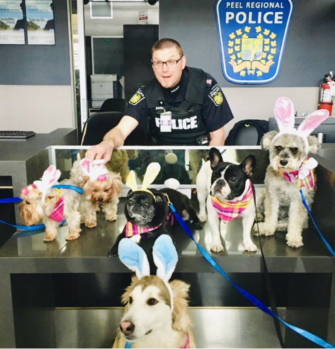 """Ridiculously cute Easter bunnies invaded the @TorontoPearson @PeelPoliceMedia Kiosk at #YYZ this afternoon! Middle second row I've personally named """"Smiley"""".... @peel_pa @TheYogaCop @officermooken @Coutorocks10 @awip_on #happyeaster #easteroutfit #bunnylove #adorable<br>http://pic.twitter.com/aZZR5YYUR8"""