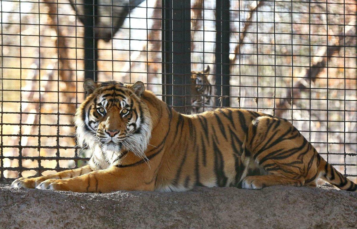 Tiger mauls zookeeper at Topeka Zoo https://trib.al/rLv98q4