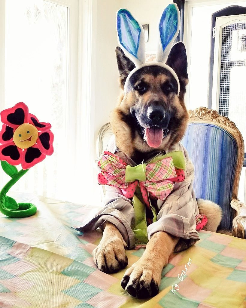 #HappyEaster ya&#39;ll! Someone is ready to decorate some eggs!  #K9Garm #SARK9 #dogsoftwitter #dog #dogs #germanshepherd #gsd #moosedog #Easter #EasterWeekend #EasterSaturday #EasterBunny #Easter2019<br>http://pic.twitter.com/W6Q94PsPaS