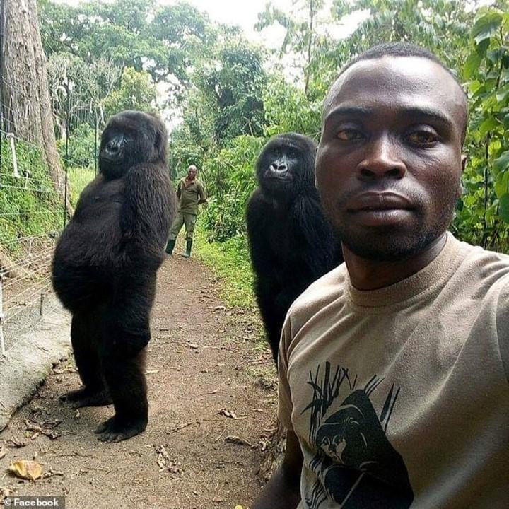 E esses gorilas fazendo pose pra selfie com os guardas que os protegem de caçadores no parque?