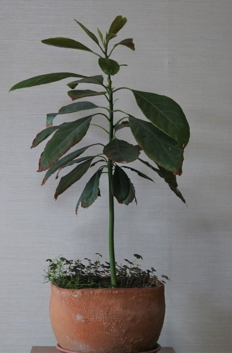 RT @ohnok1: 種から育てたアボカド 二年で木の高さ60cmになりました 花が付くまで気長に待ちます #アボカド https://t.co/0x14xW4IeT