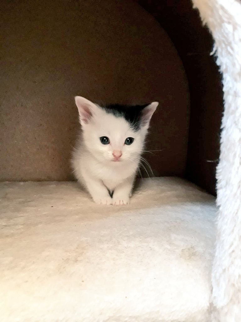 Good morning from 5 week old Marco!! He&#39;s such a teeny little babee!!! Get in touch to #AdoptDontShop #rescue #Yorkshire #rescuecats  #SundayMorning #cute #CuteKitten<br>http://pic.twitter.com/pVrhSnn4oE