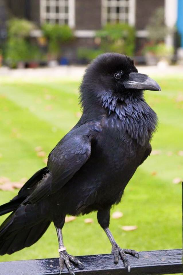 A very happy birthday to #QueensBirthday from the Tower Ravens. Quoth HM for evermore <br>http://pic.twitter.com/3GCH8f9P42