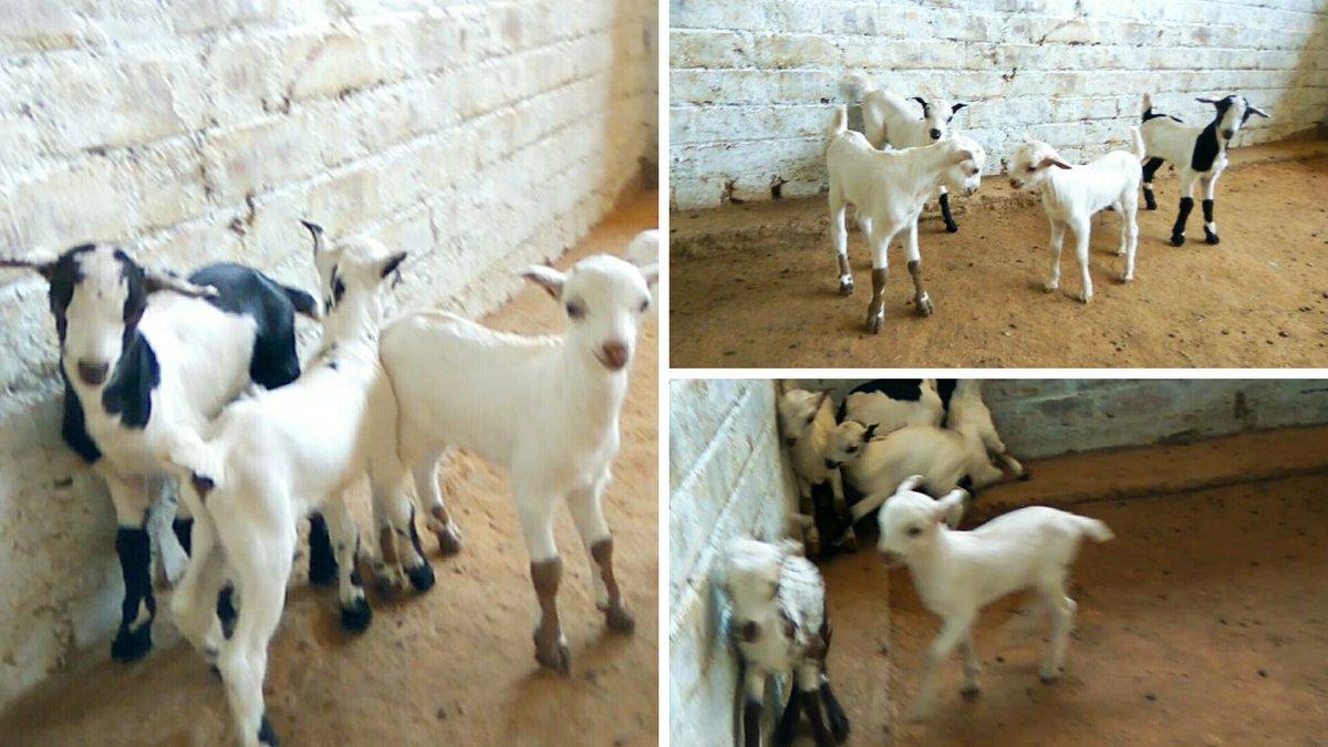 Syed Goat Farm (@FarmSyed) | Twitter