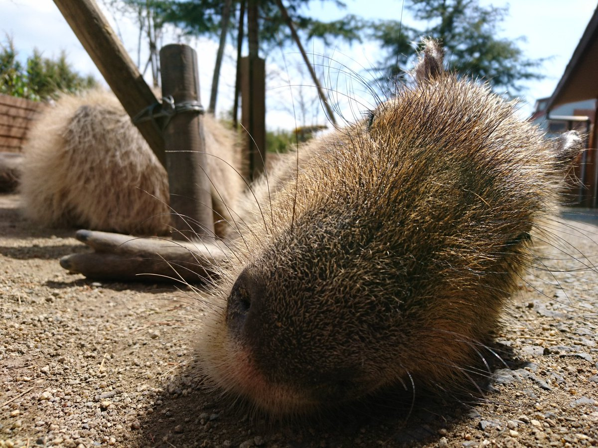 ぽかぽか、もふもふ。  こかぴも元気。  かわいかったです! また行こう。  #那須どうぶつ王国 #カピバラ  #こかぴ #水豚 #Capybara