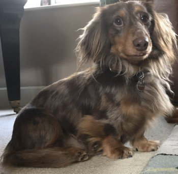 nervous #ARCHIE Chocolate Dapple #Dachshund #Lost in GREENAN Castle shore near #DOONFOOT #Ayr #Ayrshire #Scotland on 5 April 2019 #KA7 May run away if approached, please call if seen   https://www. facebook.com/SearchforArchi e/ &nbsp; …  #lostdog <br>http://pic.twitter.com/dOb3aNDmh0