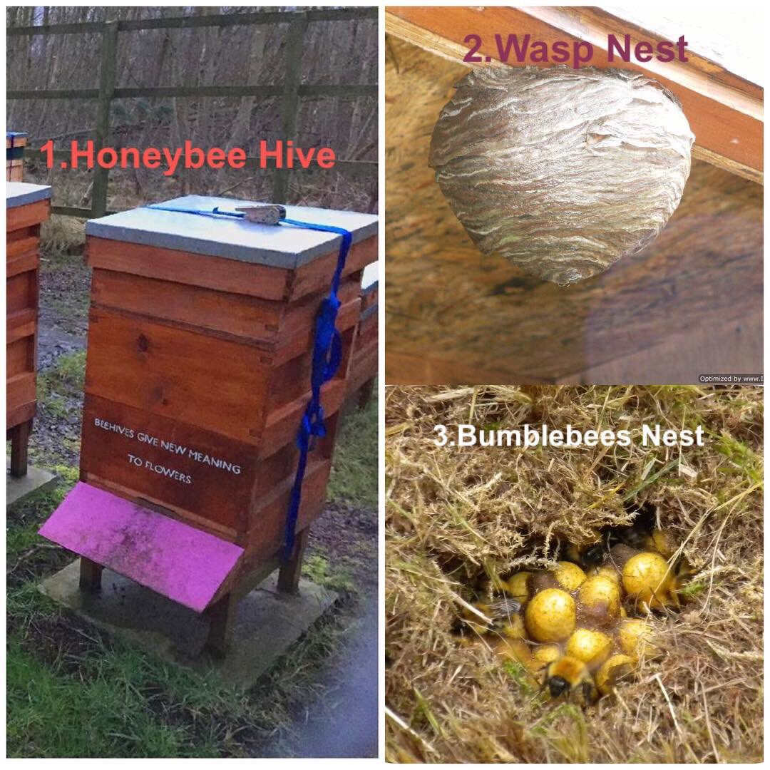 1 #honeybees live in man made boxes: hives. 2 Social #wasps #hornets  #notabee live in a nest (byke/bike) 3 Feral honeybees, #bumblebees #solitarybees live in nests or at a nesting site #topbeechat #HeBees #HelixBeekeepers #meetthebees #welovebees