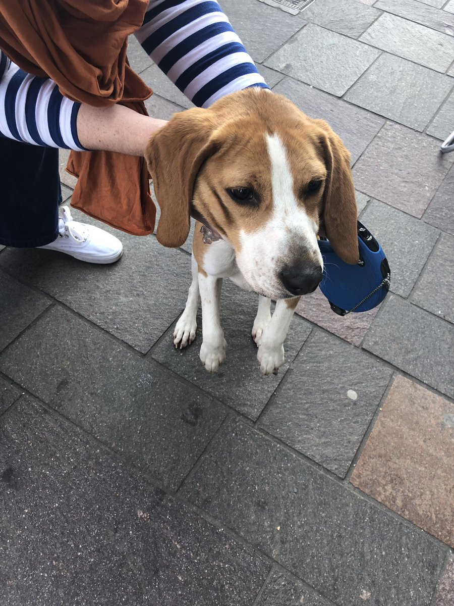 This wee pooch has been shoplifting from Morellis in Holywood all afternoon. He's now captured and the dog warden is on his way! Anyone knows anyone who might've lost him? #lostdog #holywood #petslostandfound @lostdogrescue<br>http://pic.twitter.com/OXejdk2Nw8