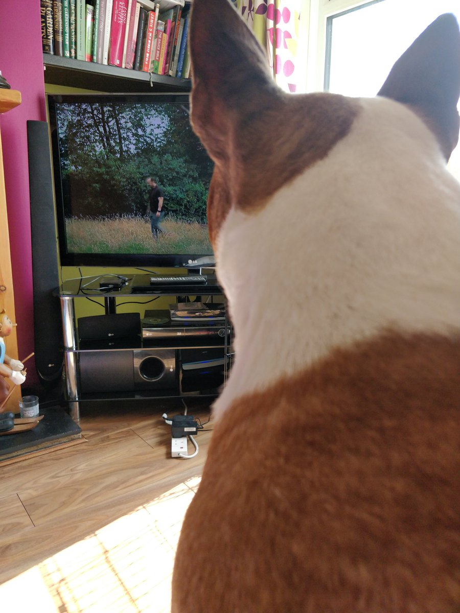 @rickygervais .. my little Buddy watching #afterlife .. watched the whole season like this sat on my knee #bullterrier  <br>http://pic.twitter.com/obusfaneIk