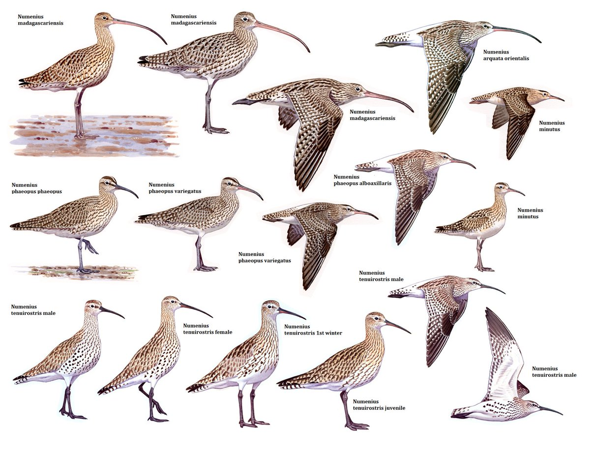 Today is World Curlew Day. Shorebirds are my favourite bird group, and Curlews are the dearest of them to me. I share you a selection of my Curlew illustrations. I&#39;m extremely lucky having seen all these species (except for the steppe race of Whimbrel). <br>http://pic.twitter.com/VWtqBWyZAP