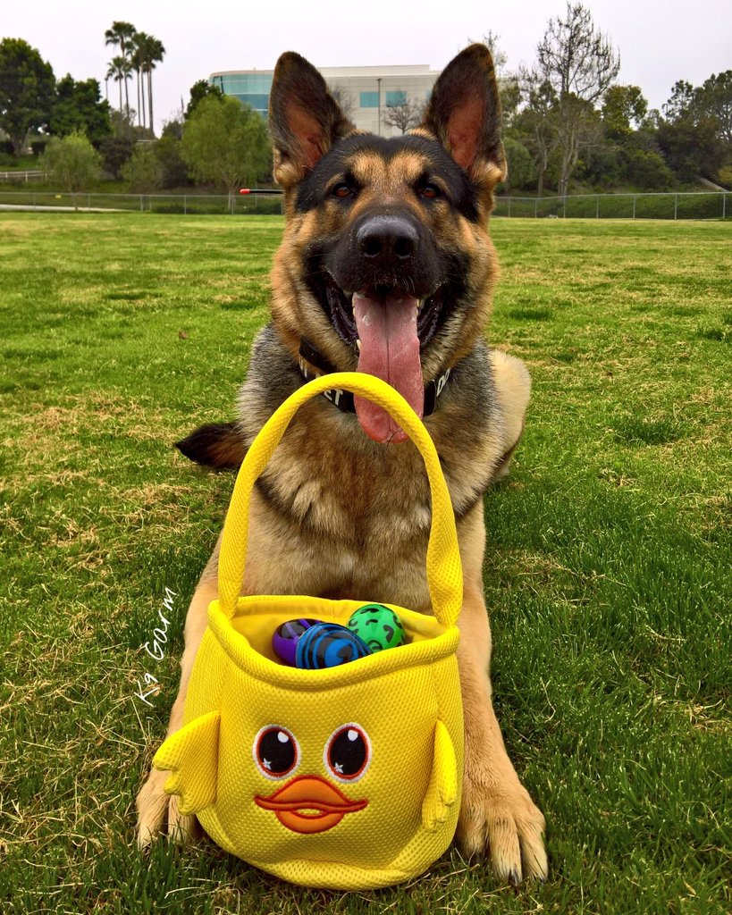 We did a #EasterEggHunt last year, moose did a great job   #EasterSunday #HappyEaster  #K9Garm #SARK9 #dogsoftwitter #dog #dogs #germanshepherd #gsd #moosedog #Easter #EasterWeekend #EasterBunny #Easter2019<br>http://pic.twitter.com/EKjci3qBiD