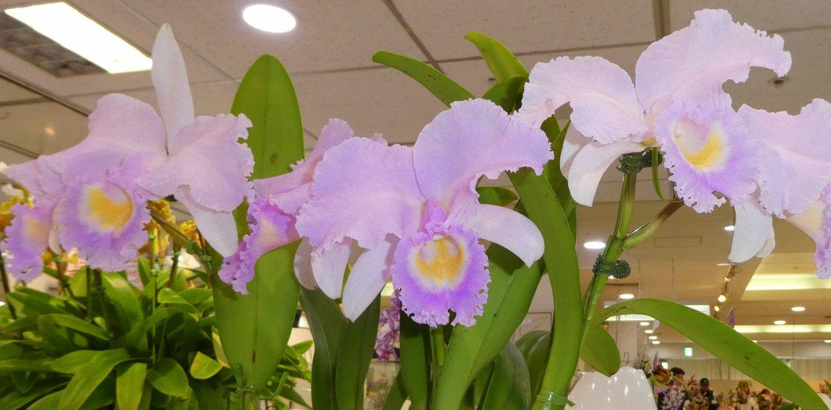 RT @fumiya_0422: カトレア・トリアネ・コンカラ-の花 カトレアはラン科で原産地はブラジルだそうです。 特徴はやや抱え咲きでピンクの可愛コンカラ-色で美しい花を冬〜春に 咲かせるそうです。 https://t.co/I70ntIi9nd