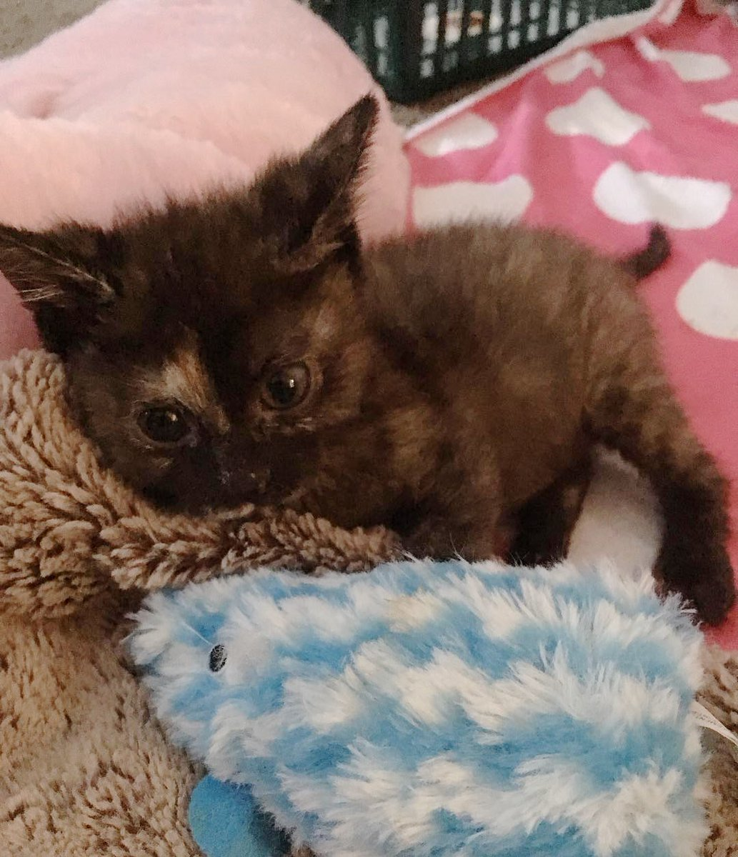 This wobbly kitty outlived everyones expectations and grew to be the happiest cat. See full story and updates: lovemeow.com/kitten-wobbly-…