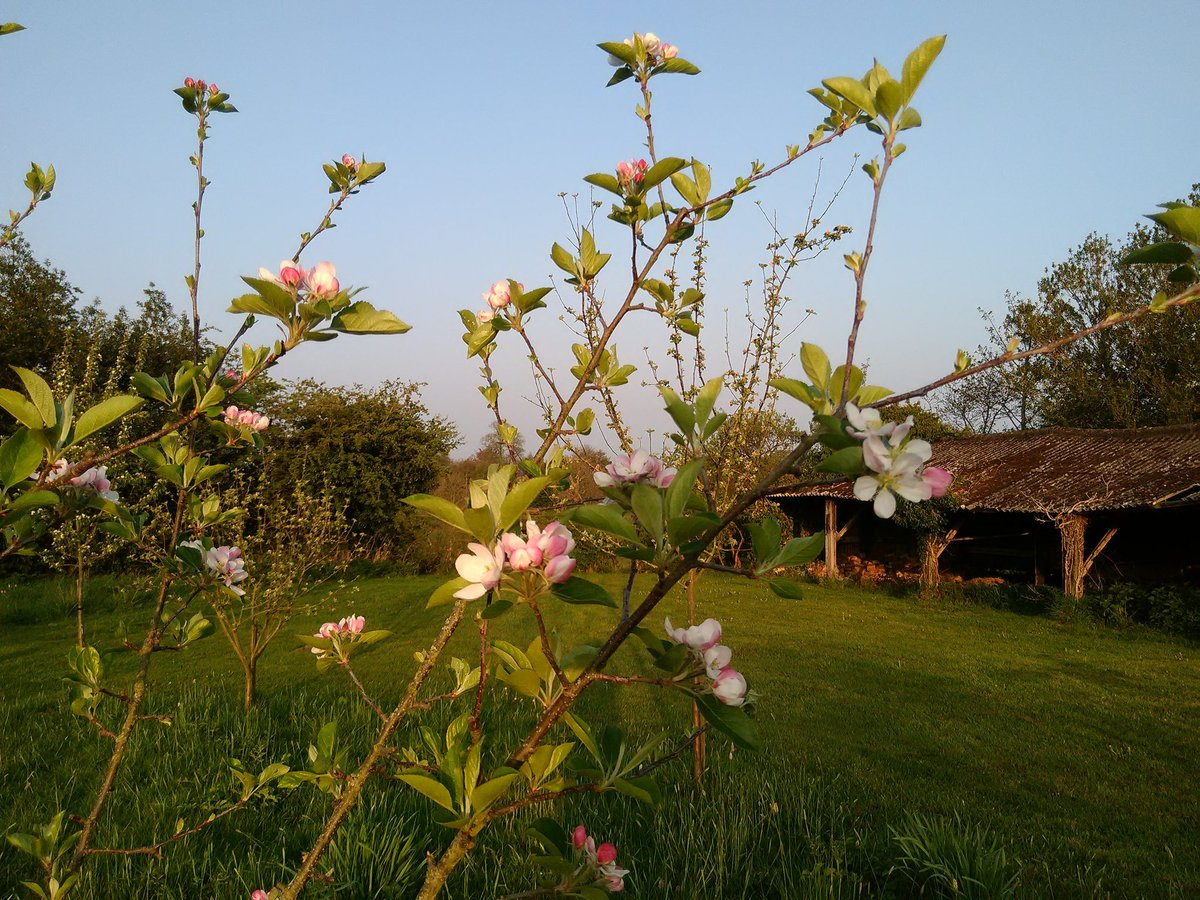 Our apple blossom is starting to open in the warm weather. Clear blue sky and cool, with a very noisy Canada goose nearby! #blossoms #Derbyshire https://t.co/AQFZvkmRxo