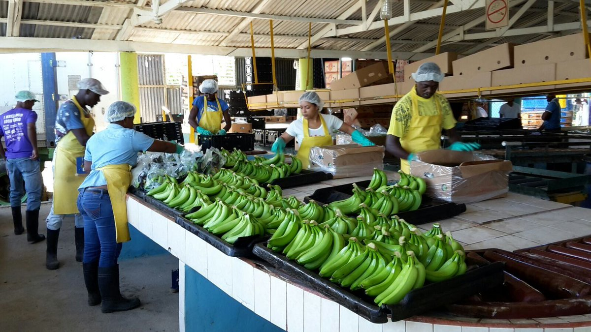 DYK: @ILO works with @FairtradeUK in the Dominican Republic 🇩🇴to find sustainable win-win solutions for #banana plantation business 🍌🍌🍌  Find out more 👉 http://bit.ly/2UI5Lrd    #ILO100 @ILOTheLab