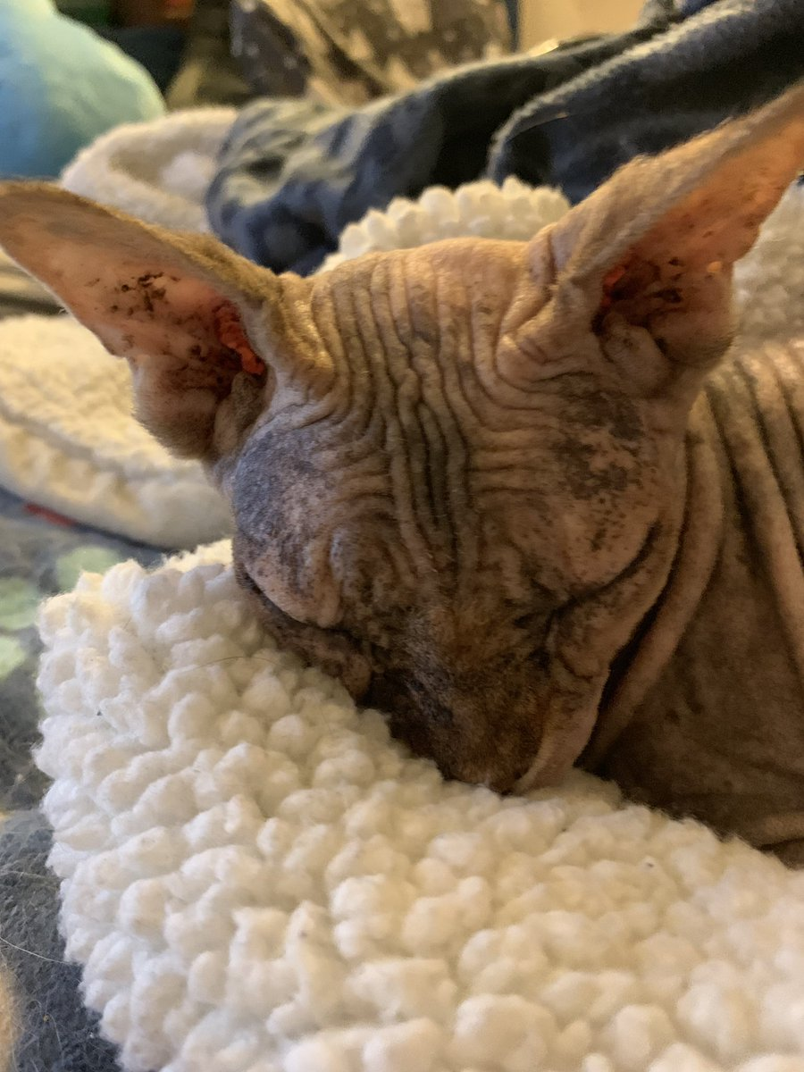 Sleeping in this morning #MondayMotivaton #cats #awwwwcats #CatsofTwitter #sphynx <br>http://pic.twitter.com/045MB8snAC